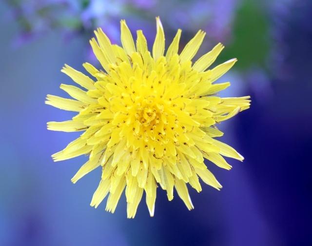Sonchus oleraceus. Fleur.
