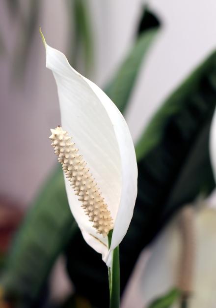 Spathiphyllum. Fleur de lune.