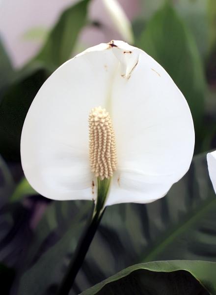 Fleur de lune. Spathiphyllum.