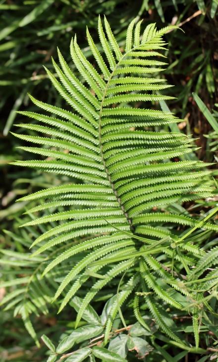 Sphaerostephanos unitus (L.) Holttum.