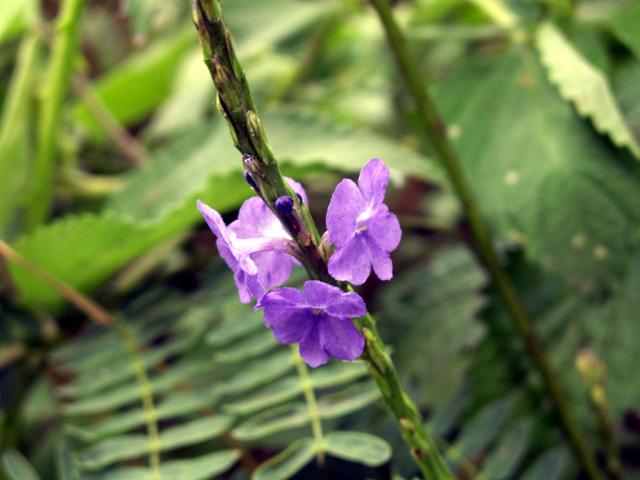 Stachytarpheta urticifolia (Salisb.) Sims.