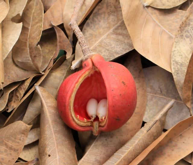 Sterculia foetida, fruit : follicule