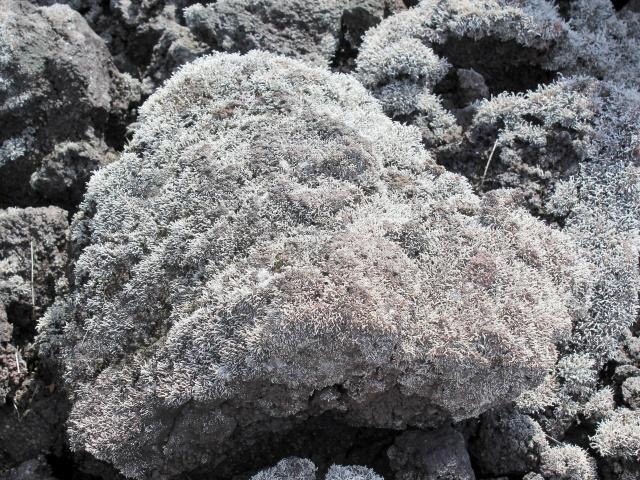 Stereocaulon vulcani. Lichen.