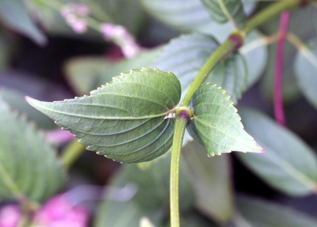 Feuilles Strobilanthes hamiltonianus.