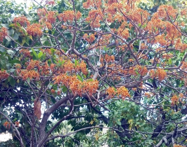 Strophanthus boivinii Baill.