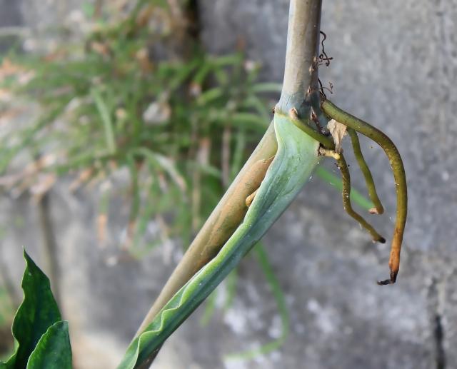 Syngonium auritum (L.) Schott.