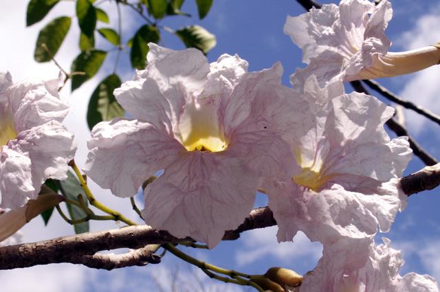 Fleur Tabebuia Poirier Pays Ou Arbre A Trompettes Roses Tabebuia