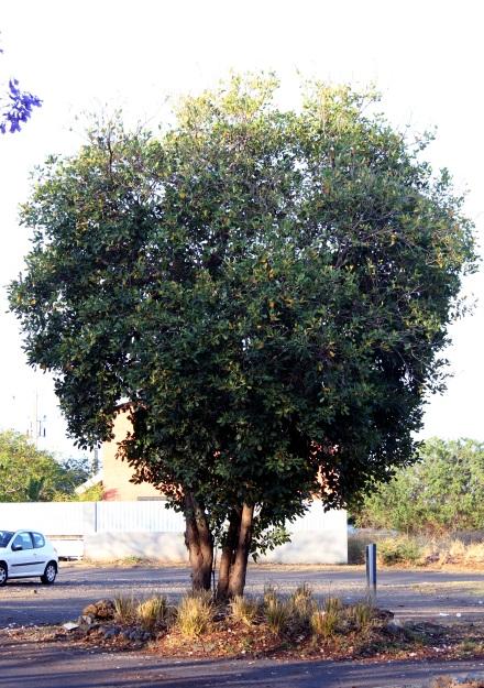 Tabebuia heterophylla. Poirier pays.