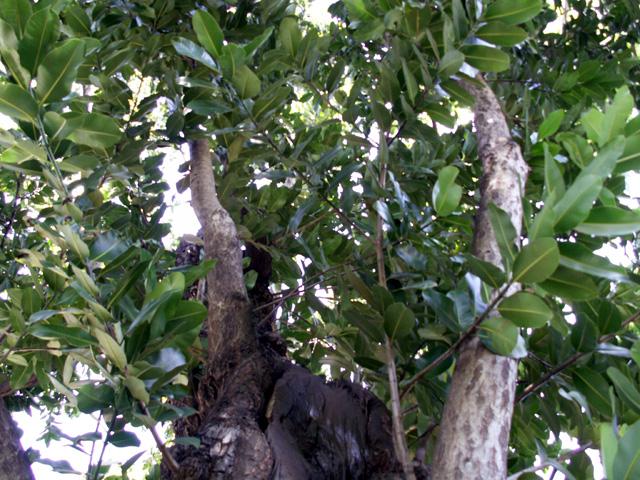 Takamaka - Calophyllum inophyllum