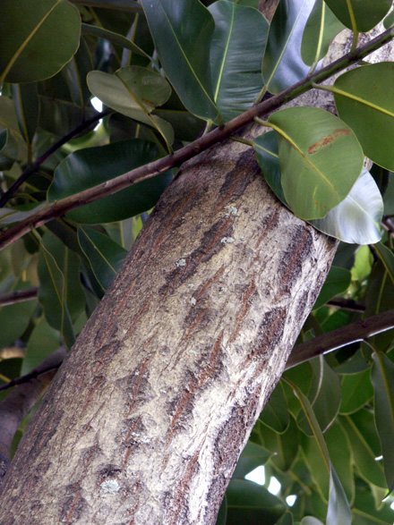 Tronc : Takamaka - Calophyllum inophyllum