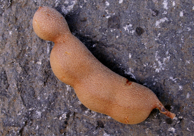 Tamarin fruit du tamarinier