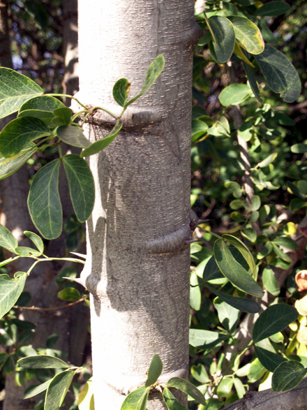 Branche et épines Tamarin d'Inde. Pithecellobium dulce.