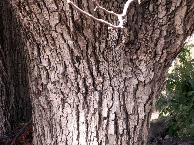 Tamarin des hauts. Acacia hétérophylla. tronc écorce