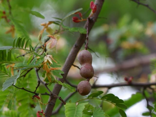 Fruit : Tamarindus indica L.