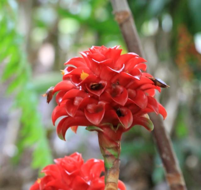 Tapeinochilos ananassae (Hassk.) K.Schum.