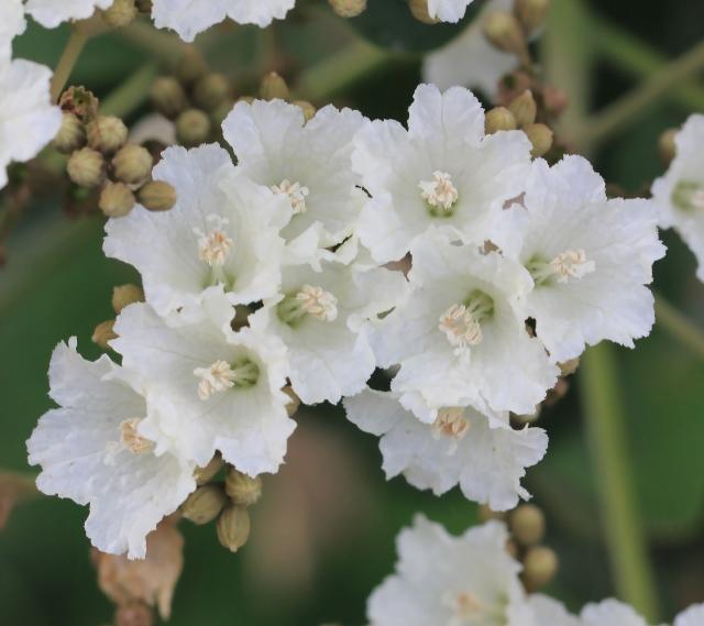 Fleurs et fruits : Cordia africana Lam