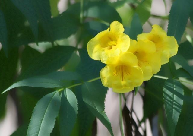 Fleurs : Tecoma stans. Trompette d'Or, Bois pissenlit.