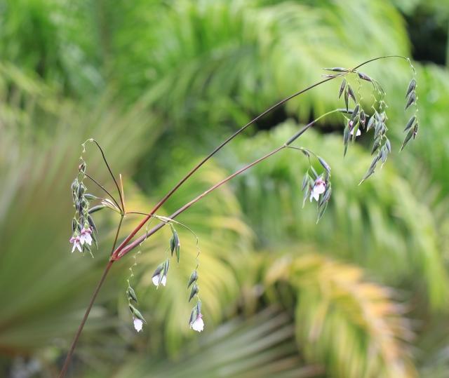 Thalia geniculata L.