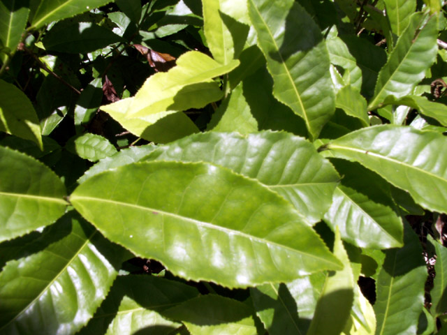 Camellia senensis Théier Thé