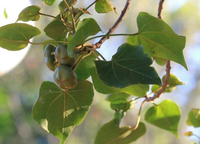 Thespesia populnea, fruits.