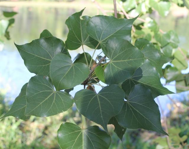 Thespesia populneoides.