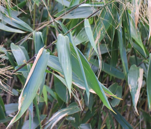 Thysanolaena latifolia (Roxb. ex Hornem.) Honda.