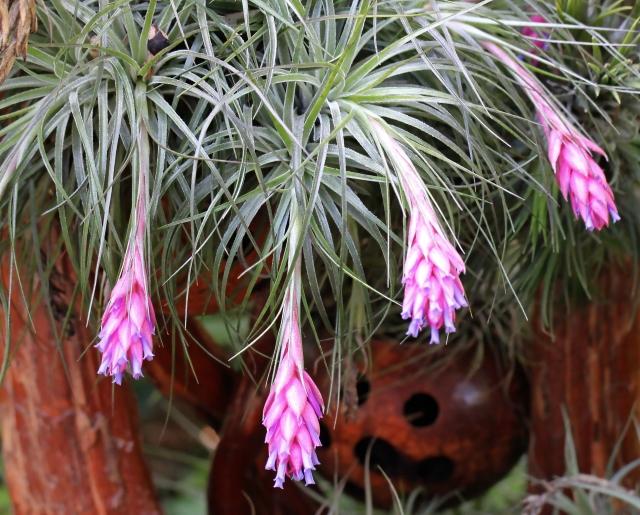 Tillandsia aeranthos (Loisel.) L.B.Sm.
