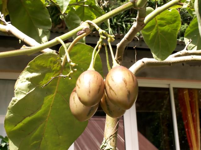 Solanum betaceum Cav. Tamarillo. Tomate arbuste.