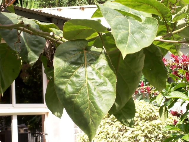 Solanum betaceum Cav. Feuilles.