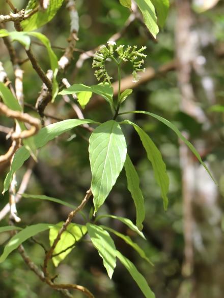 Tournefortia acuminata DC.