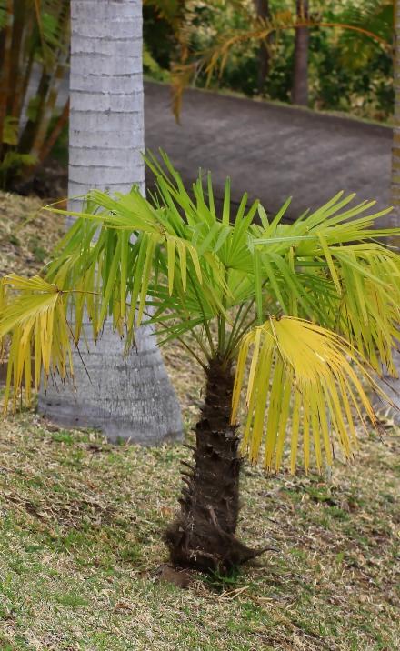 Trachycarpus fortunei (Hook.) H. Wendl. Palmier de Chine.