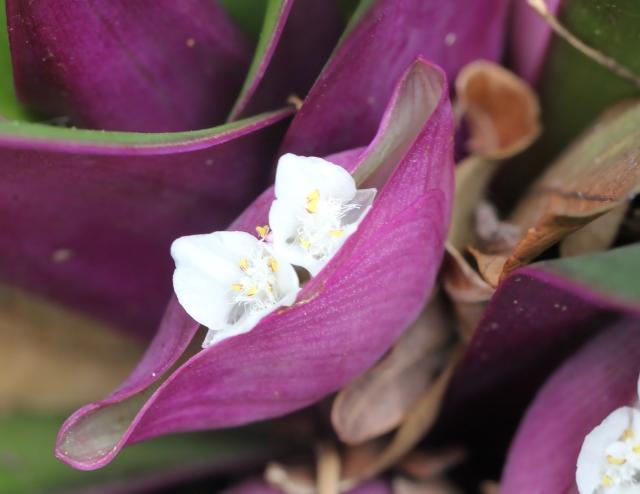 Fleurs Tradescantia spathacea Sw.