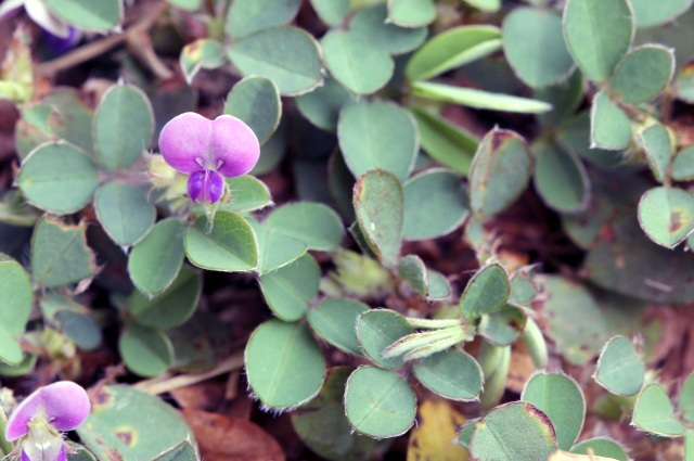 Fleurs Desmodium triflorum.