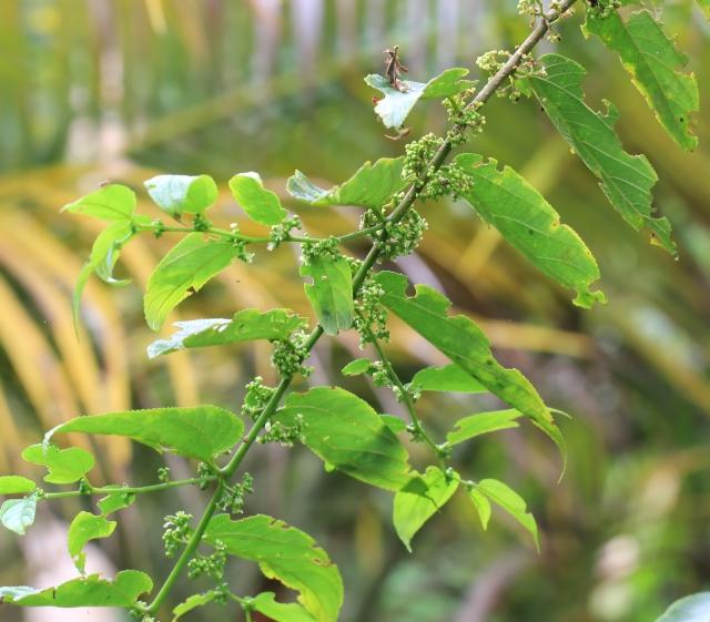 Trema orientalis (L.) Blume.