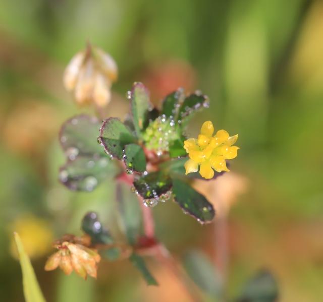 Trifolium dubium Sibth.