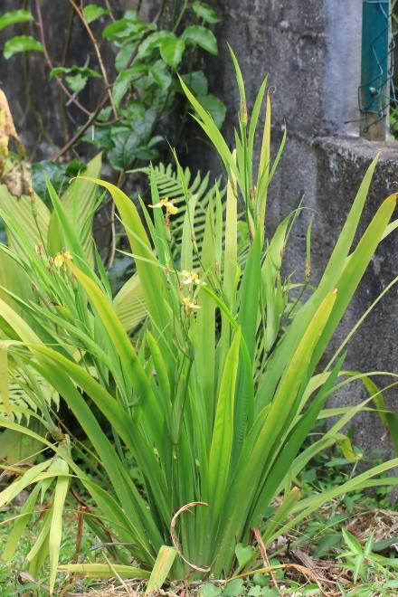 Trimezia martinicensis (Jacq.) Herb.