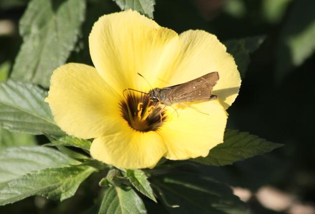 Fleur Turnera subulata Sm.