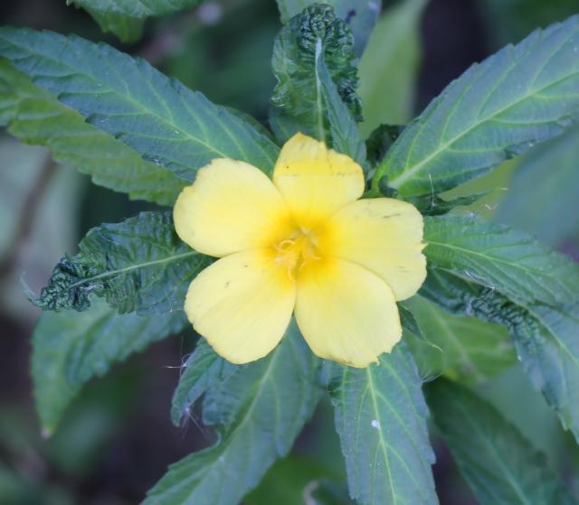 Turnera ulmifolia L. Fleur.