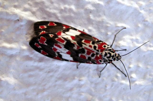 Utetheisa elata, papillon de La Réunion