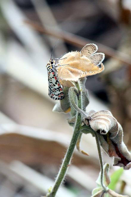 Utetheisa pulchelloides
