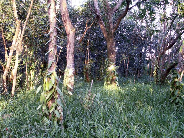Vanille Vanilla planifolia