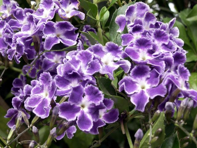 Duranta erecta, Fleurs : Vanillier marron, vanillier de Cayenne ou Durante.