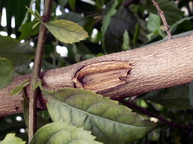 Duranta erecta, Tiges : Vanillier marron, vanillier de Cayenne ou Durante.