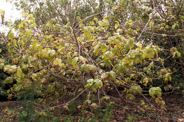 Vavangue ou Tamarin des Indes. Vangueria madagascariensis