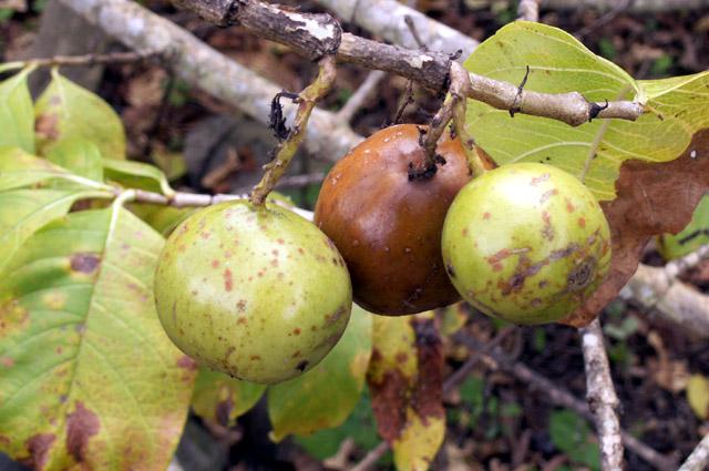 Fruits Vavangue ou Tamarin des Indes.