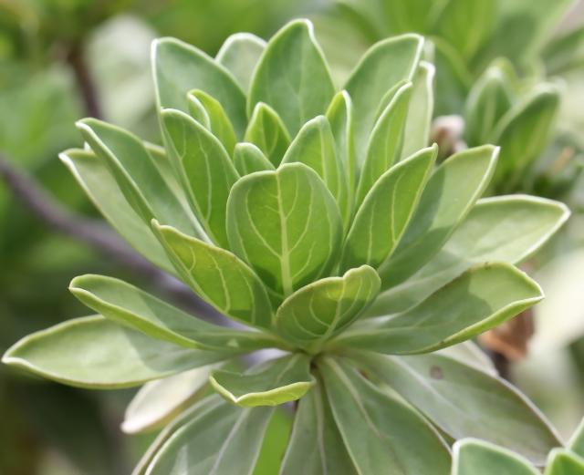 Heliotropium foertherianum Diane et Hilger.