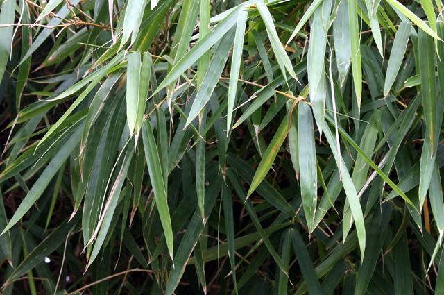 Feuilles : Bambou ventre de bouddha. Bambusa ventricosa