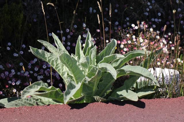 Verbascum thapsus. Rosette de feuilles
