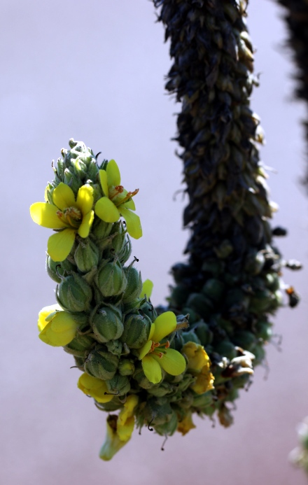 Verbascum thapsus. Inflorescence.
