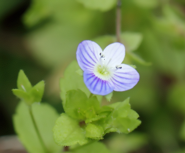 Veronica agrestis L. Véronique agreste.